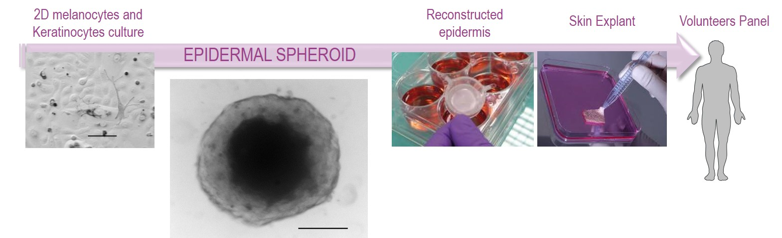 Positionning of the epidemal spheroid among skin models