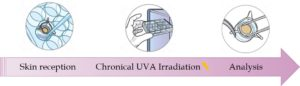 development of Human skin Model exposed to UVA